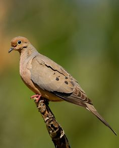 Mourning Dove (Zenaida macroura)  Love to hear them out there!