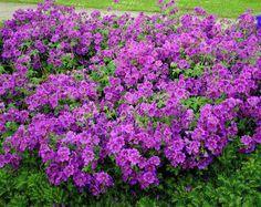 4 Plantas perennes de rápido crecimiento                                                                                                                                                                                 Más