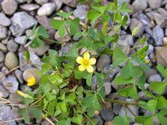 Plantas Indicadoras! - Azedinha - Indica solo argiloso, pH baixo, deficiente em Calcio e Molibdênio.