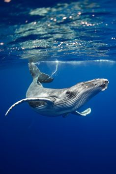 Humpback Whale Pose by Maria Teresa Lara - Meerestiere - Animals Rettet Die Wale, Photo Animaliere, Underwater Life, Underwater Animals, Ocean Creatures, Tier Fotos, Sea And Ocean, Sea World, Ocean Life