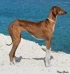 11 Rare Dog Breeds That Are Totally Underrated – #1 Azawakh #Azawakh http://www.pindoggy.com/pin/7673/