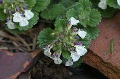 Afbeeldingsresultaat voor afbeelding teucrium scorodonia crispum - créme