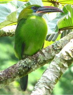 Groove-billed Toucanet at Rancho Grande Biological Station, Henri Pittier National Park, Aragua State, Venezuela