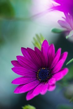 ~~Why not? | Purple African Daisy | by frederic gombert~~