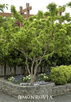 Twisty Baby™ Dwarf Black Locust (Robinia pseudoacacia 'Lace Lady' P.# - Monrovia - Twisty Baby™ Dwarf Black Locust (Robinia pseudoacacia 'Lace Lady' P. Patio Trees, Garden Trees, Trees And Shrubs, Trees To Plant, Garden Pots, Beach Gardens, Outdoor Gardens, Monrovia Plants, Foundation Planting