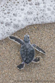 Sea turtle hatchling entering the ocean   When a sea turtle …   Flickr