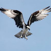 #BirdsofPrey - The Accipitridae is one of the two major families within the order Accipitriformes (the diurnal birds of prey). Many well-known birds, such as hawks, eagles, kites, harriers and Old World vultures are included in this group.