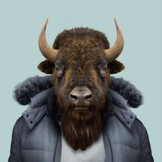 Ethan, the american bison (Bison bison)
