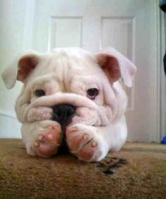 Little Wrinkly Puppy Face