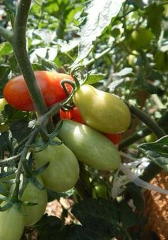 Home And Garden, Vegetables, Plants, Outdoor, Gardens, Tomatoes, Outdoors, Vegetable Recipes, Plant