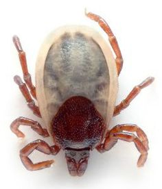 Liečba boreliózy pomocou homeopatie Tick Bite, Beautiful Bugs, Lyme Disease, Bugs And Insects, Mammals, Animals And Pets, Survival, Facts, Spiders