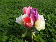 My St Patricks Day Tulips in a field of clover.
