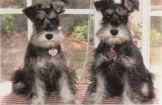 These are just so adorable salt and pepper mini  schnauzer puppies and they have the cutest names Gracie and Violet and boy are they darling✨