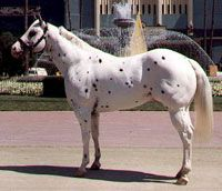 Acclaim, 1981 - 1992, Foundation Appaloosa Stallion, America's most beautiful leopard, Honored Appy of the 84 Olympics, tons of championships for him and offspring