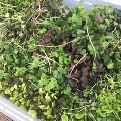 @tendergreens1 Thank you for the #bendfarmersmarket #microgreens #inbend #bendoregon #centraloregon #pnw #oregrown #madeinbend #eatgreens #eatplants #eatyourveggies