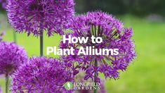 The globe-like of alliums have a look that's both regal and playful. Watch how easy it is to plant these impressive spring-blooming bulbs!