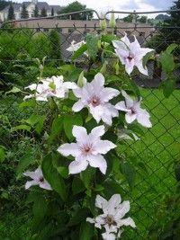 Jak pěstovat Klematis Clematis, Girl Blog, Vines, Pergola, Gardening, Plants, Garden Ideas, Lawn And Garden, Balcony