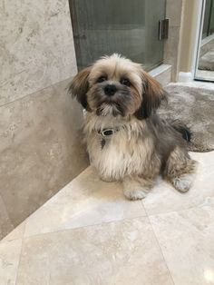 My beautiful Lhasa Scout
