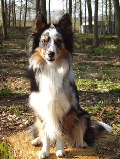 Kiowa (Border Collie, Sheltie) Mischling Mix