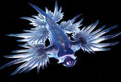 Afbeeldingsresultaat voor Glaucus Atlanticus Sea Slug