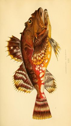 v.2 (1867) - A history of the fishes of the British Islands. - Biodiversity Heritage Library