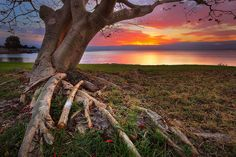 Lake Illawarra Tree