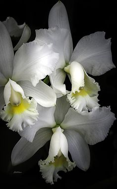 White Cattleya Orchids