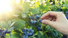 Borůvky vysaďte na slunném místě a dopřejte jim velké množství rašeliny Foto: