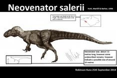 """Neovenator (nee-o-ven-a-tor) which means """"new hunter"""" is a genus of allosauroid dinosaur. Since its discovery on the Isle of Wight, UK, it has become one of the best-known large carnivorous dinosaurs in Europe. Neovenator was at first considered possibly a new species of Megalosaurus. (Wikipedia)"""