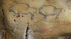 Representation of bison in the cave Covaciella in Northern Spain.  Discovered by chance in 1994, it contains the best conserved representation of bison anywhere in Asturias because the cave had been sealed up for thousands of years. Its 40-meter gallery has paintings dating back more than 14,000 years. © Fundación ITMA / S.Relanzon.