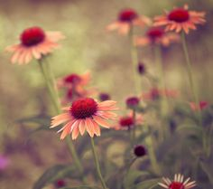 coneflowers~ by Kala_M, via Flickr