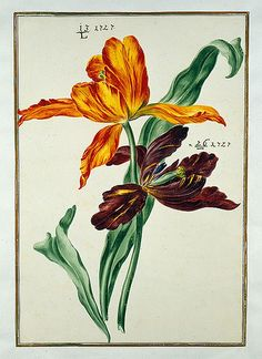 """La Badische LandesBibliotheK tiene un libro signado con el título """"Karlsruher Tulpenbuch - Cod. KS Nische C 13""""(Libro de los tulipanes de Karlsruher), editado en 1730, con 72 laminas coloreadas a mano de Chales William."""
