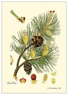 Pine featured on a vintage botanical illustration. www.mythologymagazine.com
