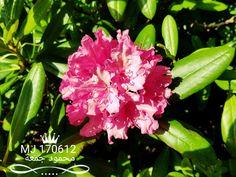 وردة شجيرة الردندرة Rhododendron