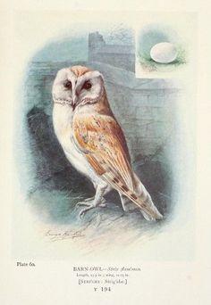 Britain's Birds 1910 Barn-owl Poster Print by George Rankin (24 x 36)