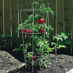 Growing your first tomato plants If you're a beginner gardener ready to grow your first tomato plants, you've come to the right place. There's a few basics to know to ensure you will have a delicious harvest...