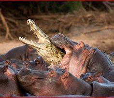 Hippo attacking a crocodile in the Maasai Mara game Reserve,Kenya