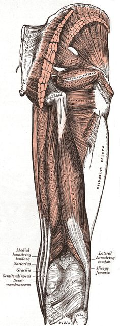 Muscles of the gluteal and posterior femoral regions.