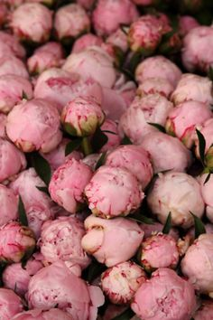 Peonies November (late spring - early dec)