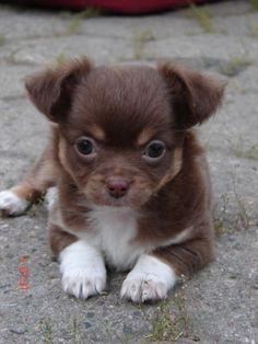 Niedlicher Dackel Welpe im Stroh my pups Süße hunde