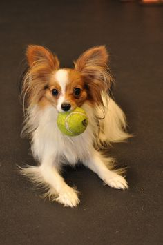 ~My first dog was a Papillon~