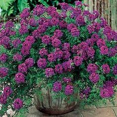 Hardy Verbena  Easy-Care, No-Mow Carpet        Weaves a thick, luxurious mat of foliage just 4 in. high; spreads rapidly. Absolutely loaded with royal purple flowers from early summer to frost—provides a full summer of color. Prefers full sun. Potted plants. Zones 5-9.  This plant attracts butterflies.