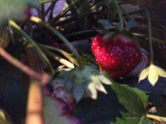 Strawberry Hanging Baskets Strawberry Hanging Basket, Hanging Baskets, Canning, Fruit, Fall Hanging Baskets, Home Canning, The Fruit, Hanging Basket Storage, Conservation
