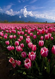 Top 20 Beautiful Nature & Places In Canada., Tulip fields in Agassiz, British Columbia, Canada Beautiful World, Beautiful Places, Beautiful Pictures, Tulip Fields, Belle Photo, British Columbia, Beautiful Landscapes, Champs, Beautiful Flowers