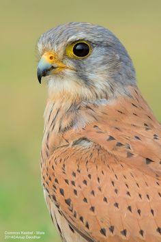 Anup Deodhar on - Kestrel - Smallest falcon in North America Pretty Birds, Beautiful Birds, Animals Beautiful, Little Birds, Small Birds, Photo Animaliere, Colorful Birds, Birds Of Prey, Bird Art