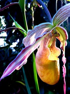 LOVE!! Ladys Slipper Orchid, one of my all-time favorite flowers. Its like a tiny, fabulous fairy shoe! #Orchids