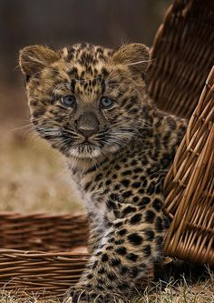 ~~Todays Cuteness-Leopard Cub, Nekama by Blitzknips~~