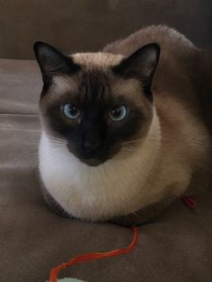 Kittens Cutest, Cats And Kittens, Cute Cats, Big Cats, Siamese Dream, Siamese Cats, Seal Point Siamese, Tonkinese Cat, Cat Heaven