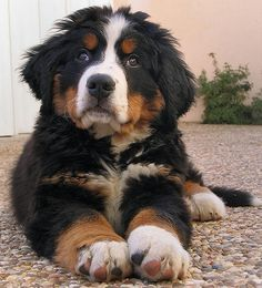 Such a cute Bernese Mountain Dog puppy