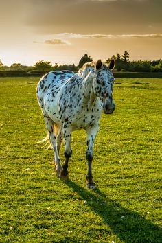 Leopard Appoloosa horse - title Harlequin Vision - by Ron Richardson on 500px